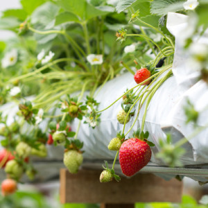 The organic strawberry farm